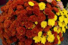 Flowerbed сделанный от красочной маргаритки oxeye Стоковые Изображения