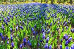 Flowerbed с красивыми голубыми виноградными гиацинтами Стоковая Фотография