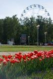 Flowerbed с красными тюльпанами на предпосылке парка города с колесом Ferris стоковые фотографии rf