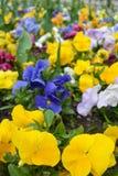 Flowerbed с много pansies playnig света цветка предпосылки Стоковое Изображение