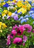 Flowerbed с много pansies playnig света цветка предпосылки Стоковые Изображения RF