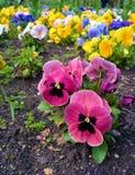 Flowerbed с много pansies playnig света цветка предпосылки Стоковая Фотография RF