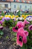 Flowerbed с много pansies playnig света цветка предпосылки Стоковая Фотография