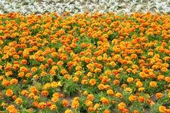 Flowerbed с оранжевыми цветками Стоковые Фотографии RF