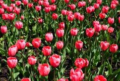 Тюльпаны в цветени. Стоковые Изображения RF