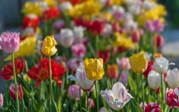 Flowerbed с тюльпанами в весеннем, селективном фокусе стоковые фото