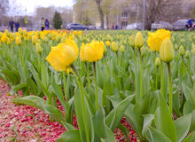 Flowerbed с тюльпанами Бесплатная Иллюстрация