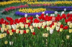 Flowerbed с яркими пестроткаными тюльпанами, радостная флористическая предпосылка стоковые фотографии rf