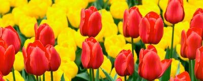 Flowerbed тюльпана, красный цвет, желтые тюльпаны в саде Стоковая Фотография