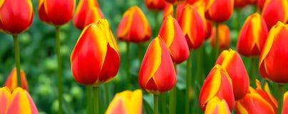 Flowerbed тюльпана, красный цвет, желтые тюльпаны в саде Стоковая Фотография RF