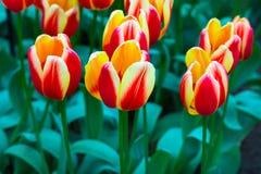 Flowerbed тюльпана, красный цвет, желтые тюльпаны в саде Стоковое Изображение RF