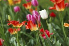 Flowerbed тюльпана Стоковое фото RF