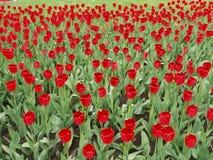 Flowerbed тюльпана Стоковое Фото