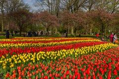 Flowerbed тюльпанов на парке на Keukenhof Стоковые Фотографии RF