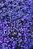 Flowerbed. A cascade of blue lobelias and violets on a sunny wall in springtime. Suitable for background Royalty Free Stock Images