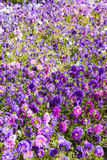 Flowerbed of asters Royalty Free Stock Images