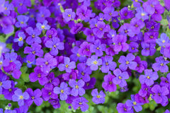 Flowerbed of Aubrietia Royalty Free Stock Image