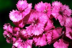 Flowerbed barbatus гвоздики стоковая фотография rf