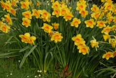 Flowers in garden, yellow daffodils royalty free stock image