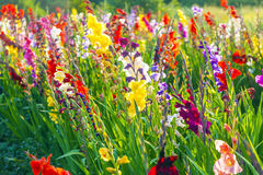 Flowerbed with beautiful gladioli Royalty Free Stock Photos