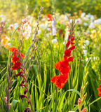 Flowerbed with beautiful gladioli Stock Photo