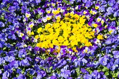 flowerbed with beautiful pansies Royalty Free Stock Images