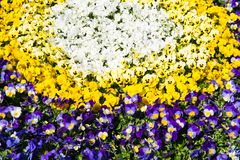 flowerbed with beautiful pansies Stock Photo