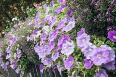 Flowerbed of beautiful purple flowers on the metal railing Stock Photography