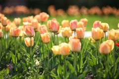 Flowerbed with beautiful tulips in the park royalty free stock photo