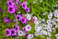Flowerbed with beautiful white and purple petunia Stock Image