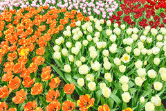 A flowerbed with blooming colorful tulips Royalty Free Stock Images