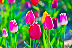 Flowerbed with blooming colorful tulips Stock Photo