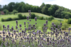 Flowerbed of blooming lavender Stock Photos