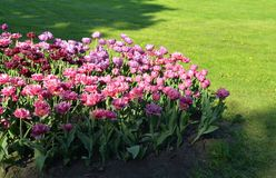 Flowerbed with blooming tulips. Stock Photos