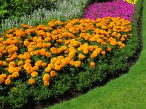 Flowerbed border of marigolds. In a park formal garden Royalty Free Stock Photo