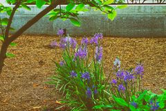 Beautiful bright blue flowers in park spring. Flowerbed of the bright blue flowers pictured in Washington D.C., United States of America. A lot of flowers can be royalty free stock photography
