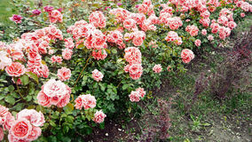 Flowerbed of Bright Pink Roses Rosea in an English Country Style. Vintage color Royalty Free Stock Photography