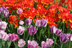 Flowerbed with bright purple and red tulips Stock Photo