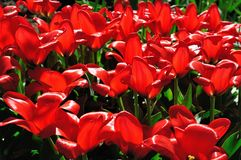 Flowerbed of bright red tulips at sunset royalty free stock photos