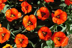 Flowerbed of bright red tulips at sunset stock photography