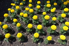 Flowerbed with yellow flowers of marigold Royalty Free Stock Image