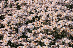 Flowerbed with chrysanthemums Royalty Free Stock Photography