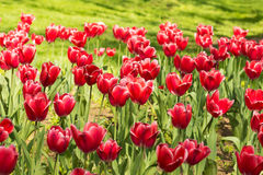 Flowerbed in the city Park with bright Carmine-red with white border tulips lat. Tulipa class Triumph at the background of green Royalty Free Stock Photo