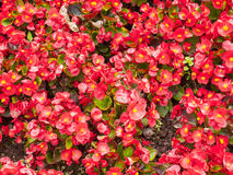 Flowerbed. Close up of a red flowerbed in summer Stock Photo