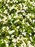 Flowerbed. Close up of white flowers in summer Stock Photos