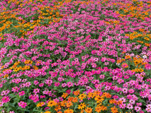 Flowerbed colorful flower sea Royalty Free Stock Image
