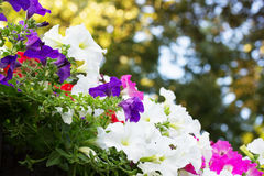 Flowerbed of colorful flowers Royalty Free Stock Photos