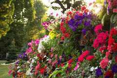 Flowerbed of colorful flowers Royalty Free Stock Images