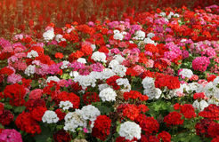 Flowerbed with colorful flowers of geraniums in sun rays Royalty Free Stock Photos