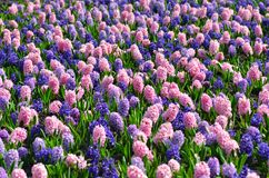 Flowerbed with colorful hyacinths, traditional spring flower, Easter flower, Easter background, floral background.  stock image